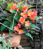 Begonia. Blooming red in the ceramic pot early in the summer Stock Photo
