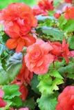 Begonia Fotografie Stock Libere da Diritti