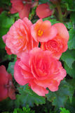 Begonia. Close-up of begonia flowers Royalty Free Stock Photography