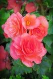 Begonia Royalty-vrije Stock Fotografie