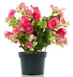 Begonia Stock Foto