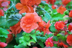 Begonia Stock Photo