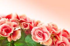 Begonia Immagini Stock Libere da Diritti