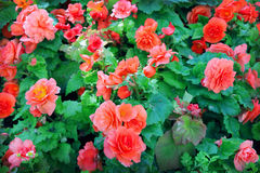 Begonia. Close-up of begonia flowers Stock Images