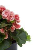Begonia. Close up of begonia elatior flower against white background Stock Photography