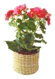 Begonia Stock Afbeeldingen