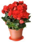 Begonia. Stock Photos