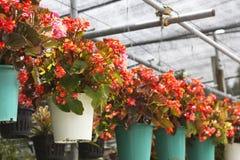 Begonia Fotografie Stock