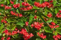 Begonia Royaltyfri Fotografi