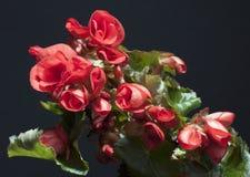 Begonia Fotografia Stock