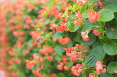 Begonia Immagine Stock