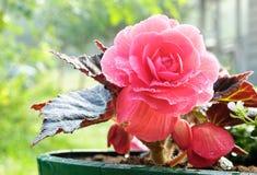 Begonia Royalty-vrije Stock Foto