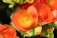 Begonia. Close-up of a begonia Stock Photo
