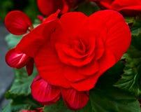 begonia Foto de Stock Royalty Free