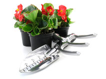 Begonia Stock Afbeelding