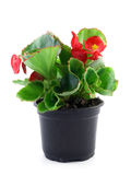Begonia Royalty Free Stock Images