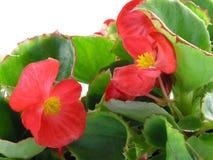 Begonia Royalty-vrije Stock Afbeelding