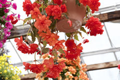 begonia Stock Fotografie
