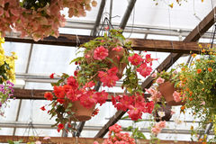 begonia Stock Foto's