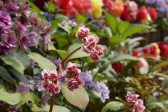 begonia Royalty-vrije Stock Afbeeldingen