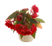 Begonia. Blooming red begonia in pot isolated on white Stock Photography