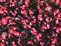 Begonia. Photo of the pink begonia flowers background Royalty Free Stock Photo
