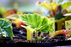 Begonia. Young plant potted in fresh soil Stock Image