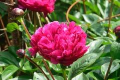 Begonia, Fotografia Stock