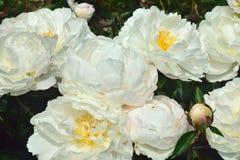 Begonia, royaltyfri bild