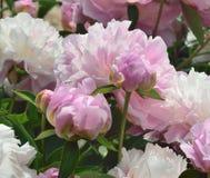 Begonia, Stock Foto's