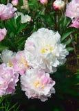 Begonia, Obraz Stock