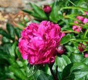 Begonia, royaltyfria bilder