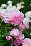 Begonia, Royalty-vrije Stock Foto