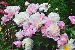 Begonia, royaltyfri fotografi