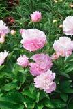Begonia, Royalty-vrije Stock Fotografie
