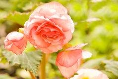 Begonia. Softened glow of a pink begonia flower Royalty Free Stock Images