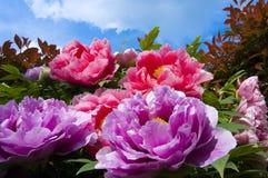 begonia стоковые фотографии rf