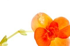 Begonia amarilla roja, aislada en blanco Imágenes de archivo libres de regalías