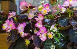 Begonia royalty free stock photography
