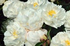 Begonia, Stock Photo
