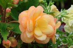 Begonia, Stock Image