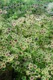 Begonia (begonia di Rex) Immagine Stock