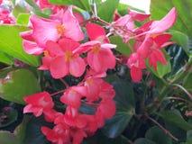 Begonia. Dragon wing pink Royalty Free Stock Photos