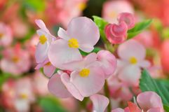 Begonia ,Begonia x semperflorens-cultorum. Or pink Begonia royalty free stock photo