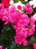 begonia Begoniaceae Hart-vormige bloem stock foto