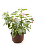 Begonia in bloempot Royalty-vrije Stock Foto's
