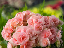 Begonia Blooming rose blanche Photo stock