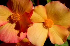 Begonia Blooms Stockfotos