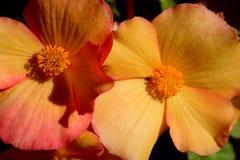 Begonia Blooms Stock Photos