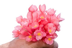 Begonia blossom Stock Image